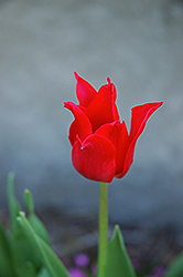 Pretty Woman Tulip (Tulipa 'Pretty Woman') at The Growing Place