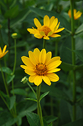 False Sunflower (Heliopsis helianthoides) at The Growing Place