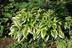 Gold-Variegated Mountain Hosta (Hosta montana 'Aureomarginata') at The Growing Place
