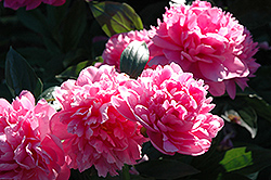 J.H. Wigell Peony (Paeonia 'J.H. Wigell') at The Growing Place