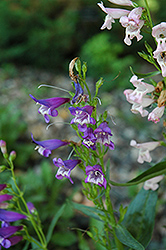 Rondo Mix Beard Tongue (Penstemon 'Rondo Mix') at The Growing Place