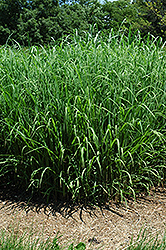 Silver Feather Maiden Grass (Miscanthus sinensis 'Silver Feather') at The Growing Place