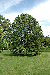 Northern Pin Oak (Quercus ellipsoidalis) at The Growing Place