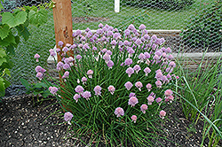 Chives (Allium schoenoprasum) at The Growing Place