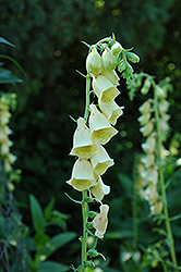 Yellow Foxglove (Digitalis grandiflora) at The Growing Place