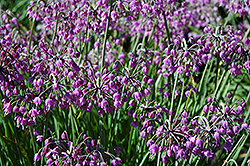 Nodding Onion (Allium cernuum) at The Growing Place