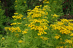Isla Gold Tansy (Tanacetum vulgare 'Isla Gold') at The Growing Place