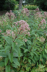 Gateway Joe Pye Weed (Eupatorium maculatum 'Gateway') at The Growing Place