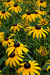 Goldsturm Coneflower (Rudbeckia fulgida 'Goldsturm') at The Growing Place