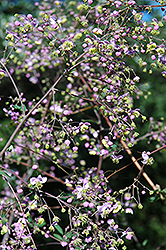 Rochebrun Meadow Rue (Thalictrum rochebrunianum) at The Growing Place