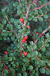 Hesse Cotoneaster (Cotoneaster 'Hessei') at The Growing Place