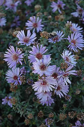 Woods Blue Aster (Aster 'Woods Blue') at The Growing Place