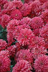Minnruby Chrysanthemum (Chrysanthemum 'Minnruby') at The Growing Place