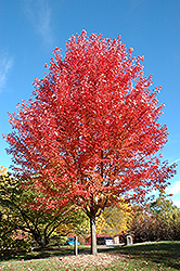 Autumn Blaze Maple (Acer x freemanii 'Jeffersred') at The Growing Place