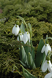 Common Snowdrop (Galanthus nivalis) at The Growing Place