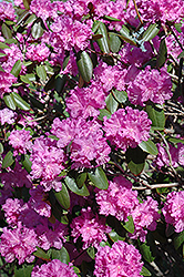 P.J.M. Rhododendron (Rhododendron 'P.J.M.') at The Growing Place