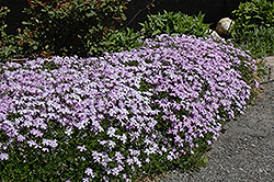 Emerald Blue Moss Phlox (Phlox subulata 'Emerald Blue') at The Growing Place