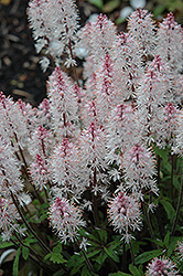 Spring Symphony Foamflower (Tiarella 'Spring Symphony') at The Growing Place