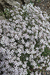 Creeping Baby's Breath (Gypsophila repens) at The Growing Place