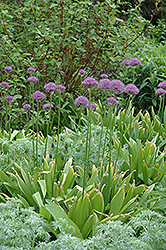 Purple Sensation Ornamental Onion (Allium 'Purple Sensation') at The Growing Place
