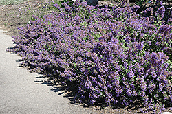Walker's Low Catmint (Nepeta x faassenii 'Walker's Low') at The Growing Place