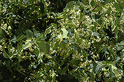 Greenspire Linden (Tilia cordata 'Greenspire') at The Growing Place