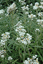 Pearly Everlasting (Anaphalis margaritacea) at The Growing Place