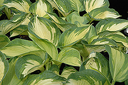June Hosta (Hosta 'June') at The Growing Place
