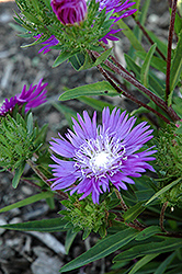 Honeysong Purple Aster (Stokesia laevis 'Honeysong Purple') at The Growing Place