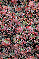 Purple Beauty Hens And Chicks (Sempervivum 'Purple Beauty') at The Growing Place