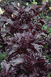 Purple Ruffles Basil (Ocimum basilicum 'Purple Ruffles') at The Growing Place