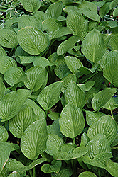 Royal Standard Hosta (Hosta 'Royal Standard') at The Growing Place