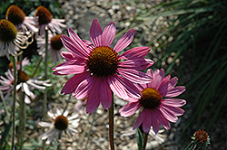 Tennessee Coneflower (Echinacea tennesseensis) at The Growing Place