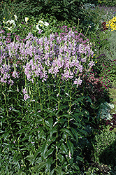 Obedient Plant (Physostegia virginiana) in Naperville ...