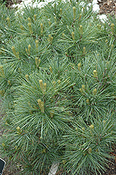 Blue Shag White Pine (Pinus strobus 'Blue Shag') at The Growing Place