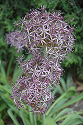 Star Of Persia Onion (Allium christophii) at The Growing Place