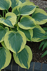 Liberty Hosta (Hosta 'Liberty') at The Growing Place