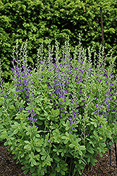 Blue Wild Indigo (Baptisia australis) at The Growing Place