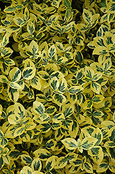 Emerald 'n' Gold Wintercreeper (Euonymus fortunei 'Emerald 'n' Gold') at The Growing Place