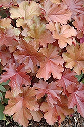 Mahogany Coral Bells (Heuchera 'Mahogany') at The Growing Place