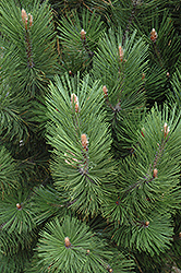 Emerald Arrow Bosnian Pine (Pinus leucodermis 'Emerald Arrow') at The Growing Place