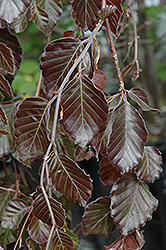Purple Fountain Beech (Fagus sylvatica 'Purple Fountain') at The Growing Place