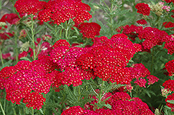 Pomegranate Yarrow (Achillea millefolium 'Pomegranate') at The Growing Place