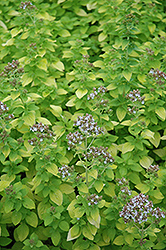 Golden Oregano (Origanum vulgare 'Aureum') at The Growing Place