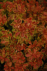 Admiration Japanese Barberry (Berberis thunbergii 'Admiration') at The Growing Place