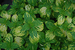 Variegated Ginger Mint (Mentha x gracilis 'Variegata') at The Growing Place