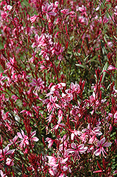 Belleza® Gaura (Gaura lindheimeri 'Belleza') at The Growing Place