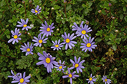 Blue Daisy (Felicia amelloides) at The Growing Place