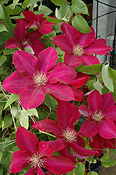 Rebecca Clematis (Clematis 'Rebecca') at The Growing Place