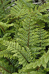 Japanese Tassel Fern (Polystichum polyblepharum) at The Growing Place